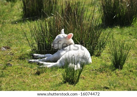 Sleeping Lamb - stock photo