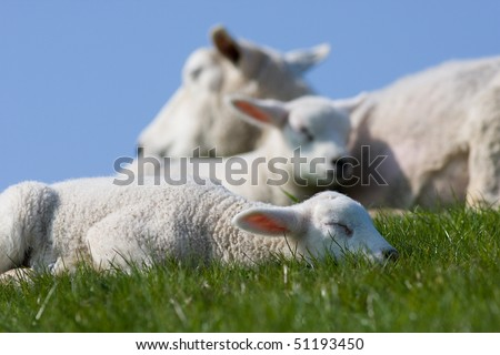 Sleeping lambs and sheep - stock photo
