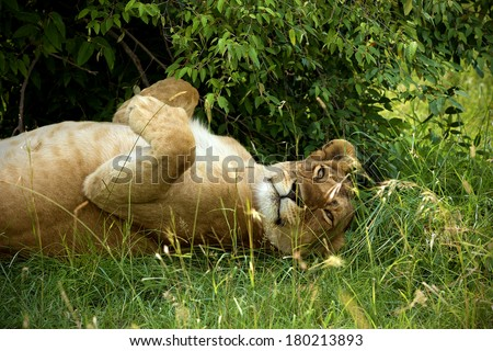 Sleeping lioness in the bushes w Amboseli - stock photo