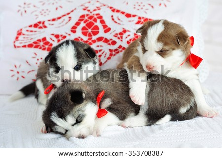 Sleeping little cute Siberian Husky puppies - stock photo