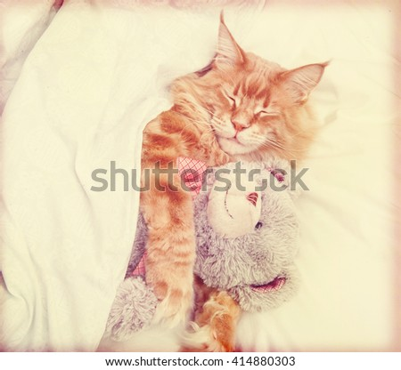 Sleeping Maine Coon cat in retro style with teddy bear - stock photo