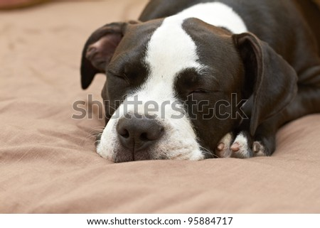 Sleeping Pit Bull dog breed - stock photo