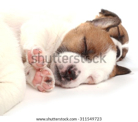 Sleeping puppy breed Jack Russell Terrier, 1 month old. Isolated on white. - stock photo