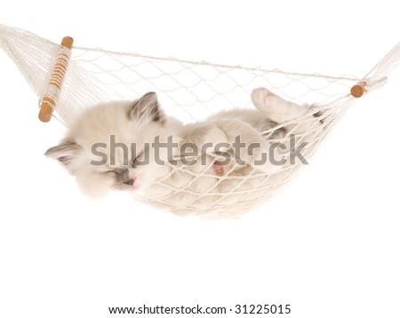 Sleeping Ragdoll kitten in white hammock, on white background - stock photo