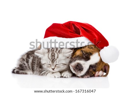sleeping Scottish kitten and puppy with santa hat. isolated on white background - stock photo