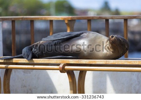 Sleeping Sea Lion on a bench in Puerto Baquerizo Moreno. Isla San Cristobal in the Galapagos Islands 2015 - stock photo