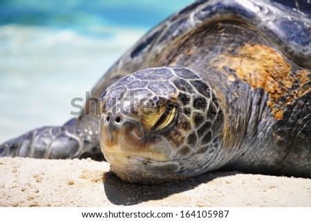 Sleeping Sea Turtle - stock photo