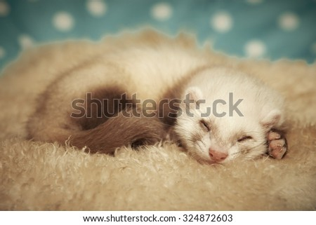 Sleeping seven weeks old ferret baby portrait on blanket - stock photo
