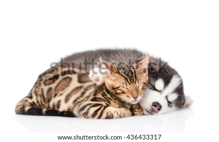 Sleeping Siberian Husky puppy hugs bengal kitten. isolated on white background - stock photo