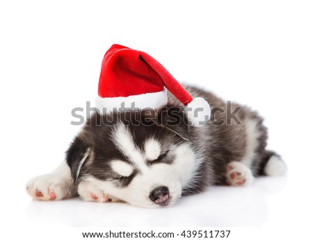 Sleeping Siberian Husky puppy in red santa hat. isolated on white background - stock photo
