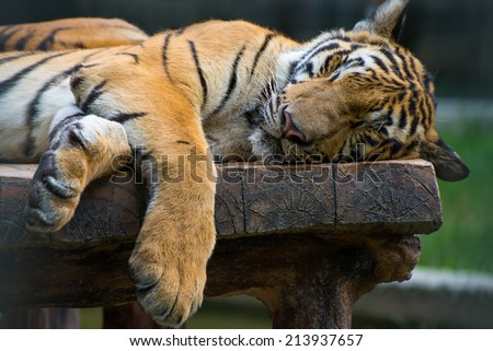 sleeping tiger on the wood table. - stock photo