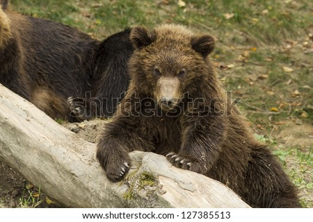 sleepy bear cub in the trunk of a fallen tree to rest stores - stock photo