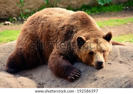 Sleepy bear in zoo - stock photo