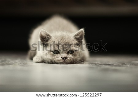 sleepy british kitten over black background - stock photo