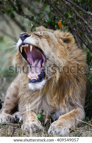 Sleepy male lion yawning, widely open mouth. Close up - stock photo