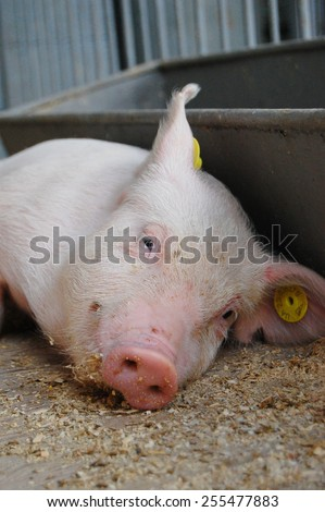 Sleepy piglet in a cage - stock photo