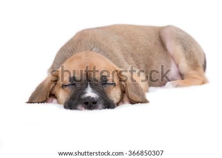 Sleepy Puppy Dog on White Background - stock photo