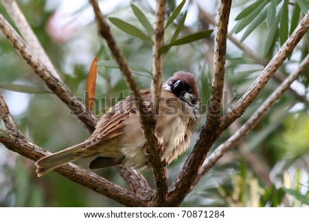 Sleepy Sparrow. This Eurasian Tree Sparrow is resting on a windy day early evening. It expand it's feather to keep warm. - stock photo