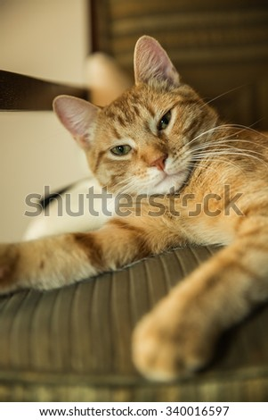 Sleepy striped cat waking up from a long sleep on chair - orange Tabby - stock photo