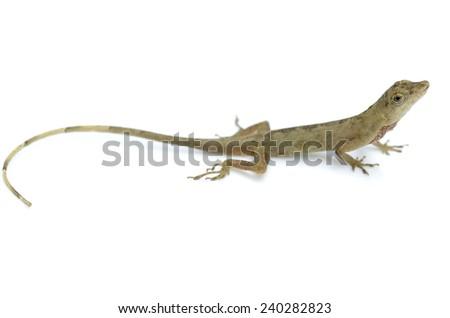 Slender Amazon anole (Anolis fuscoauratus) - stock photo