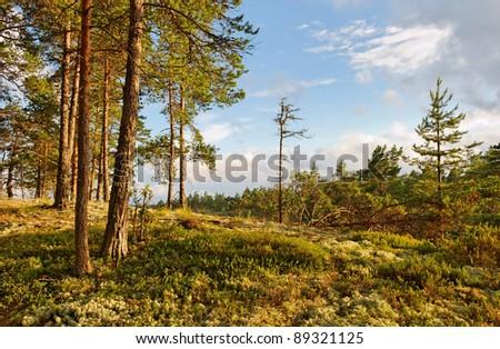 slim pines on hillslope, karelian landscape - stock photo