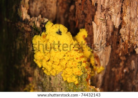 slime mold on wood - stock photo