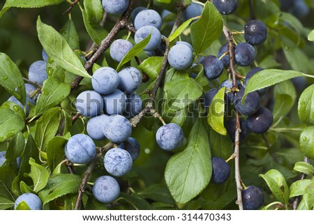Sloe Fruit at Blackthorn Tree - stock photo