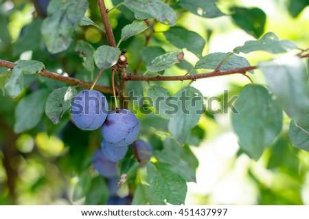 Sloe Fruit at Blackthorn Tree. berries of blackthorn or sloe on unfocused background. - stock photo