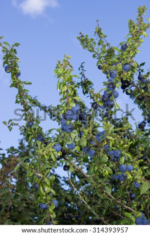 Sloes in the Hedge - stock photo