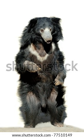 Sloth bear isolated on a white background - stock photo