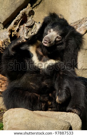Sloth bear sitting up on a sunny day - stock photo