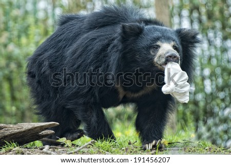 Sloth black asian bear portrait while holding a bag in mouth - stock photo