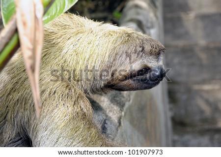 Sloth Costa Rica - stock photo