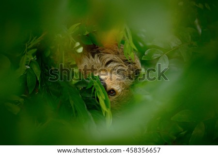 Sloth hidden in the dark green vegetation. Linnaeus's two-toed Sloth, Choloepus didactylus, from Costa Rica tropic forest. Beautiful animal in nature habitat. Portrait of sloth in the central America - stock photo