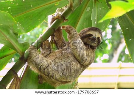 Sloth in Puerto Viejo, Costa Rica  - stock photo