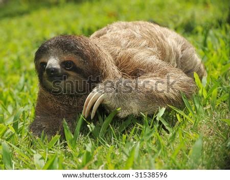 sloth, three toe juvenile ,cahuita,costa rica, central america - stock photo