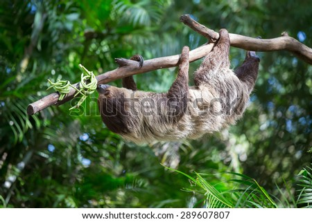 sloth were hung on the branches to find plants to eat. - stock photo