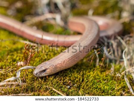 Slow worm (Anguis fragilis), Legless Lizard, on Green Moss in Natural Habitat - stock photo