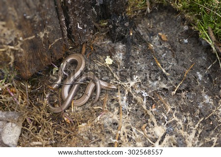 Slow worm found under old logs. - stock photo