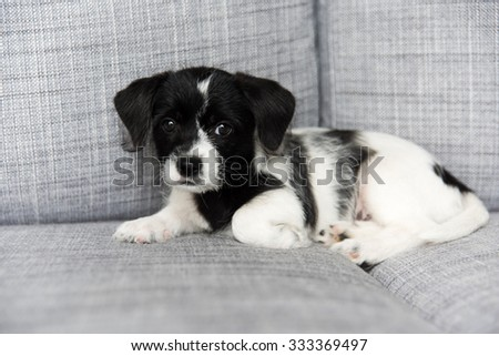Small Adorable Black and White Terrier Mix Puppy on Couch - stock photo