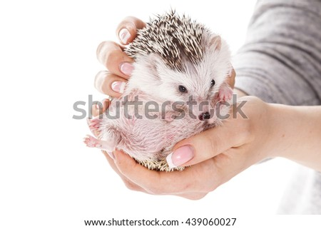 Small african hedgehog in female hands on white background - stock photo