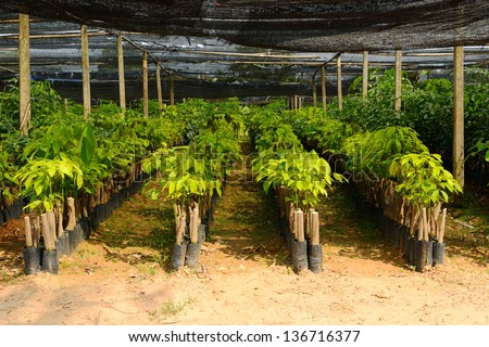 Small and baby rubber tree - stock photo