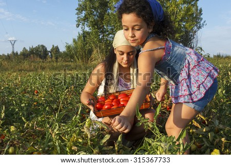 Small and teenage girl picking tomatoes. Collecting tomato. Field tomatoes. City girls enjoying agriculture. - stock photo