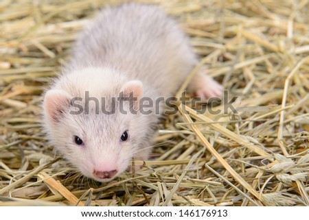 small animal rodent ferret sits on dry hay - stock photo