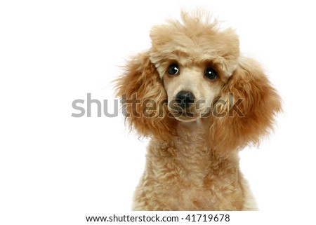 Small apricot poodle puppy, isolated on white background - stock photo