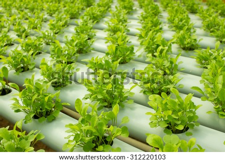 Small Arugula Plants growing in Hydroponic culture - stock photo
