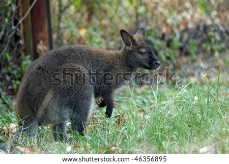 Small Australian kangaroo sometimes called a wallaby poised looking around after feeding on some fresh green grass picking. - stock photo