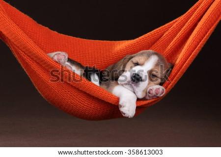 Small beagle puppy sleeping in a hammock - stock photo