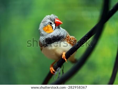 Small beautiful birds of the African savanna - stock photo
