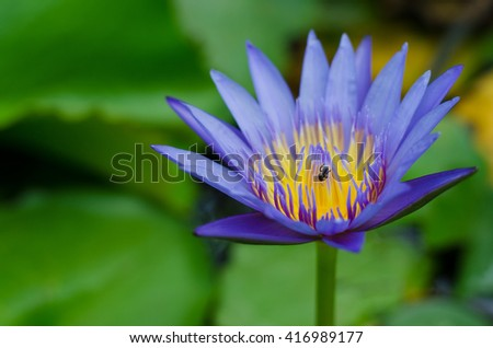 Small bee on the pollen violet lotus - stock photo